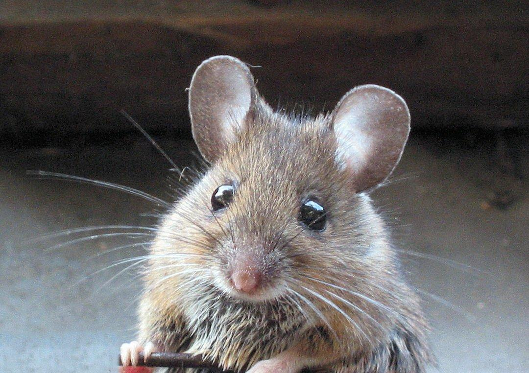 Мыши могут без каких-либо проблем передвигаться по стенам