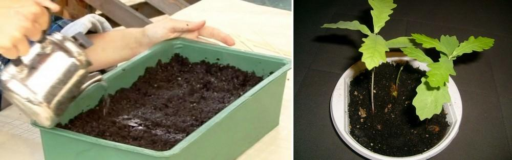 В целях предотвращения грибковых заболеваний можно увлажнять настоем ромашки аптечной. 2 чайные ложки цветков ромашки на 1 стакан кипятка настаивать в течение дня. Процедить и затем промыть в ней семена, а потом полить почву, в которой они будут прорастать