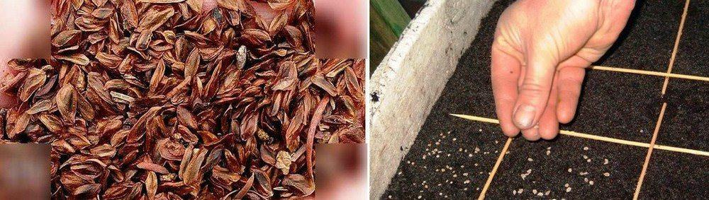 Семена японского кедра высаживайте весной. Черенковать можно летом и в начале осени, перед этим обработайте побеги гормоном укоренения
