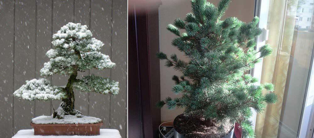 Бонсай из сосны: фото, стратификация обыкновенной сосны, садовый на участке, зимовка черная, видео