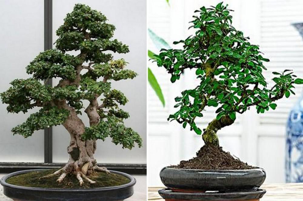 Растение переносит типичные комнатные температуры, но не следует охлаждать его ниже 12°С. Кармона любит влажность выше 20-25%