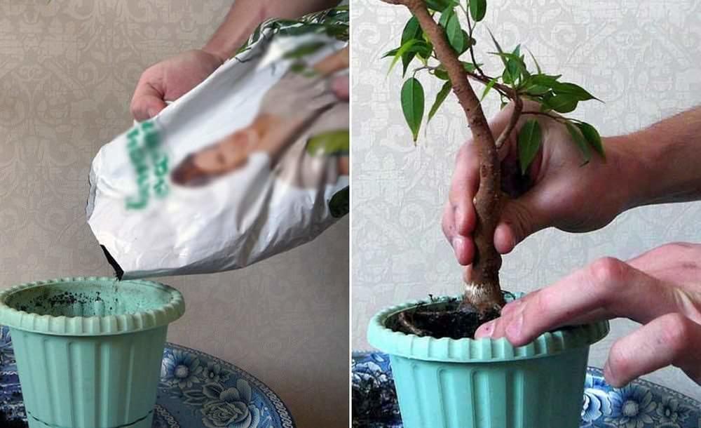 Пересаживать ваш бонсаи придётся весной каждый год, используя обычную почву. Пересадка сопровождается обрезкой корневой системы, фикус переносит её очень хорошо, главное не делать её слишком радикально
