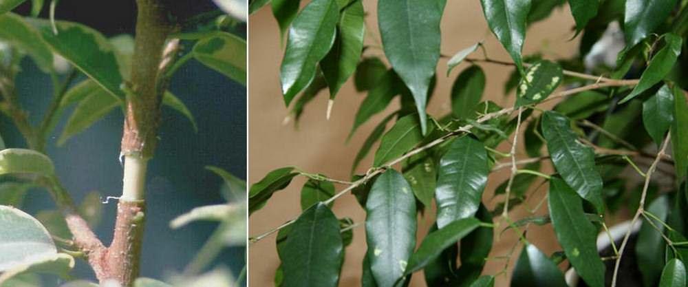 На листьях большинства видов бонсай карликовый фикус находятся специальные заострённые волоски, с которых стекают капли воды. Размер листьев варьирует от 2 до 50 см в длину