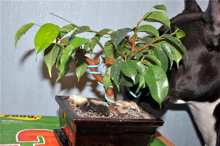 Фикус не любит сухих мест и сквозняков и сбрасывает листья, если оказывается в таком месте