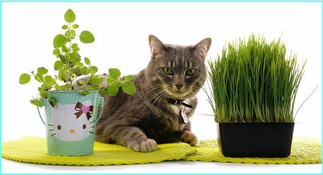 Кошачья мята является многолетним растением и никогда не теряет своего зеленого цвета