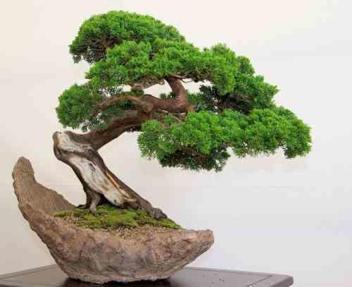 Бонсай – это особое искусство, когда выращивают точную копию какого-либо дерева в миниатюре
