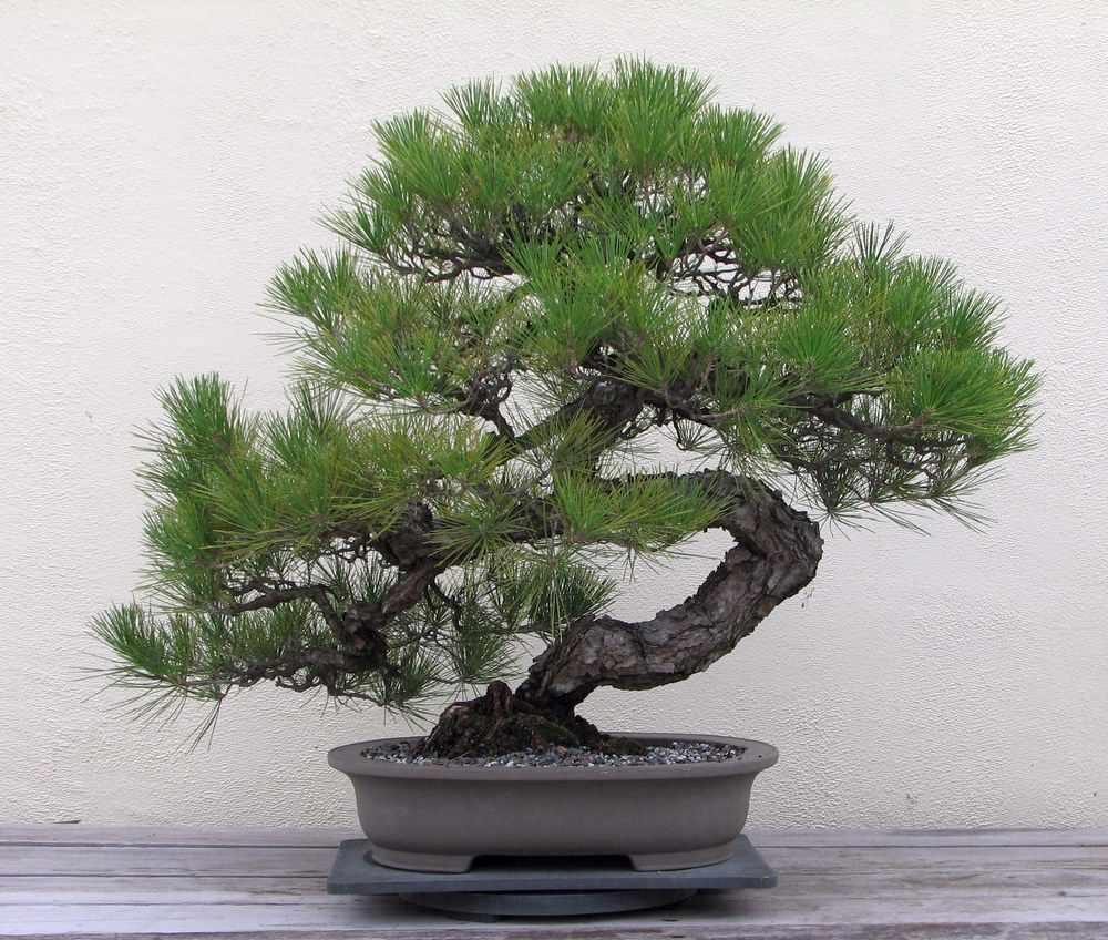 Бонсай сосны – это живая копия хвойного дерева в уменьшенном виде