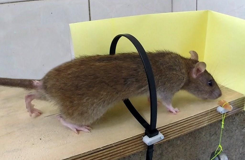 Существует множество самодельных приспособлений, с помощью которых можно легко и быстро ловить мышей