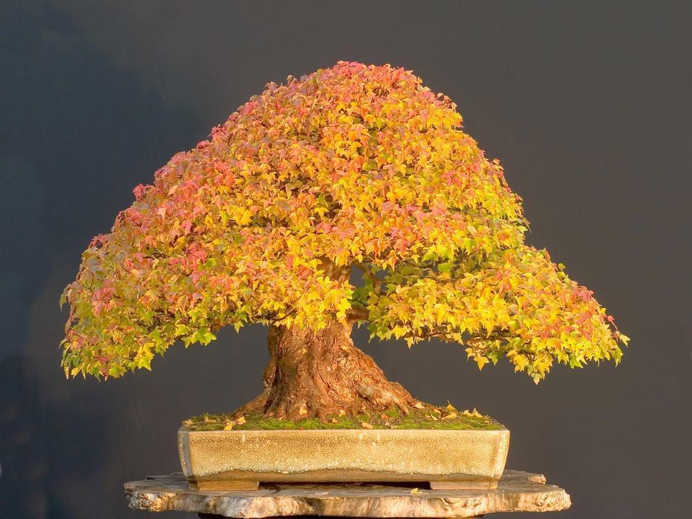 Нет такого понятия, как «специальные семена бонсай» – растения бонсай создаются из обычных деревьев