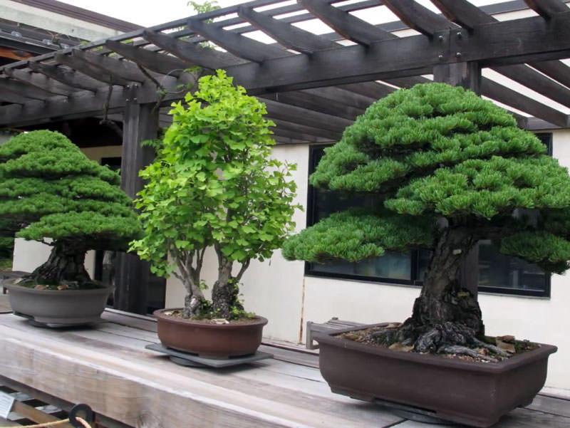 Бонсай является формой традиционной японской культуры, в котором человек должен посадить дерево в горшке и придать форму его ветвям, листьям и стволу