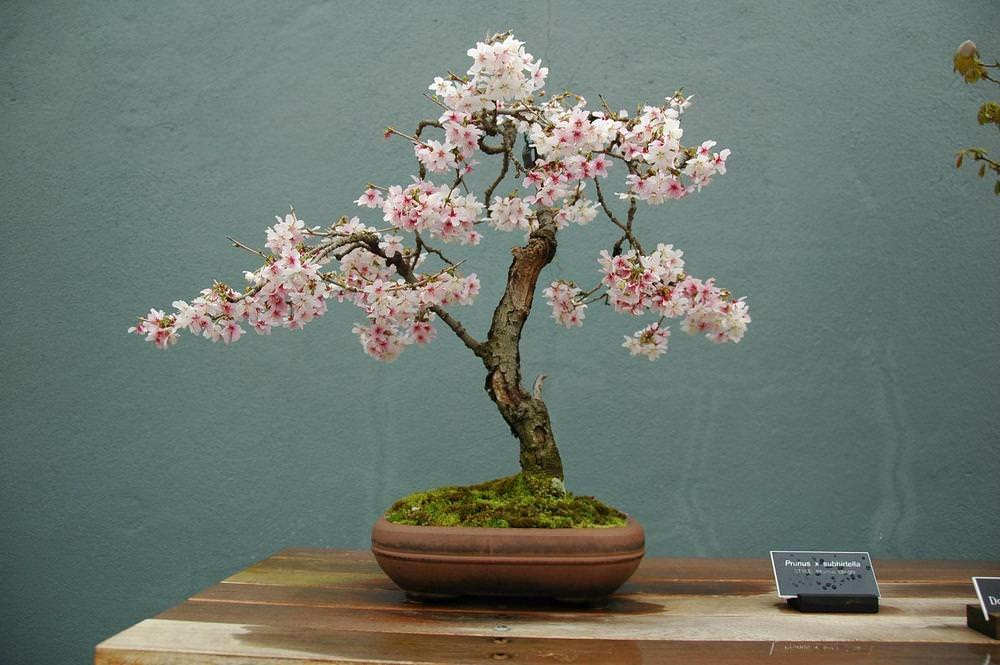 Розовые и белые цветы красиво расположены в пучках по два или по пять. Листья растут поочередно, а осенью желтеют, становятся малиновыми или красными