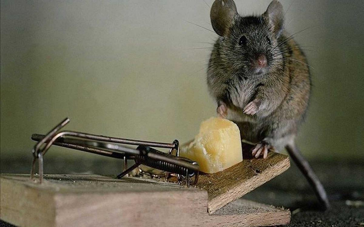 Традиционным способом избавления от мышей является применение мышеловок