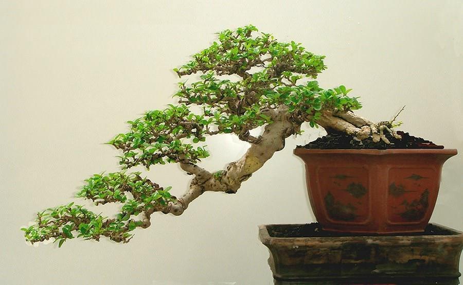 Кармона имеет привлекательную серую кору с темными, бородавчатыми ветвями. Его маленькие листья уместны даже для самых маленьких бонсай