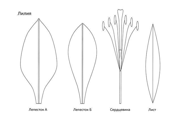 Выкройка для будущей лилии из фоамирана