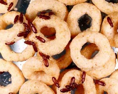 Как избавиться от моли на кухне: борьба с пищевой молью, в шкафу, моль в крупе, химические и народные средства, видео-инструкция