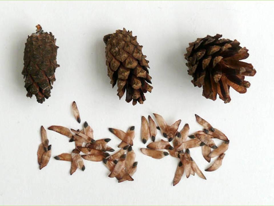 Сосна даёт семена, жизнеспособные в течение многих лет