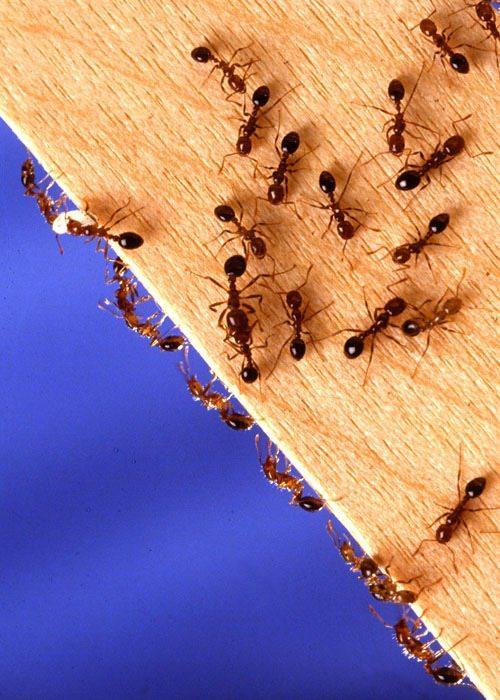 Кроме того, что муравьи способствуют порче продуктов питания, они еще могут оказаться небезопасными для здоровья окружающих