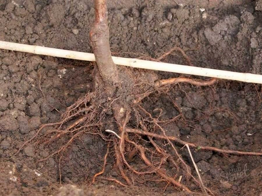 Выкапывать деревце довольно трудно, можно повредить его корешки. Делать это нужно в первые недели весны, до начала сокодвижения