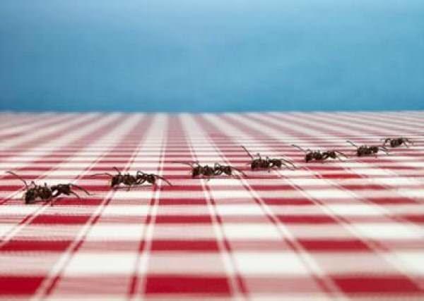 Не всегда безобидные на первый взгляд муравьи – желанные «гости» в вашем доме